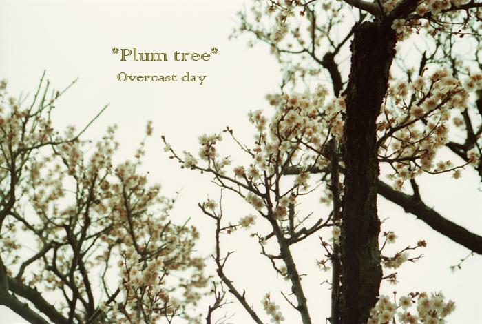 Plumtree1.jpg