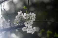 桜、さくら、サクラ、sakura