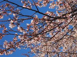 4月8日お花見1