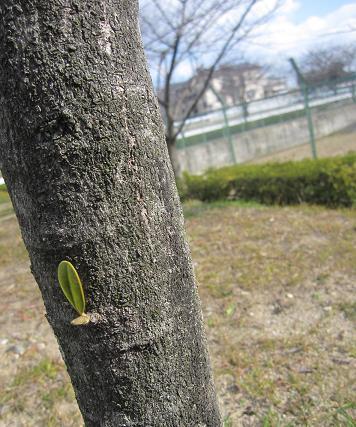 201003284いぶきが見つけた春