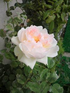 最後の秋バラ