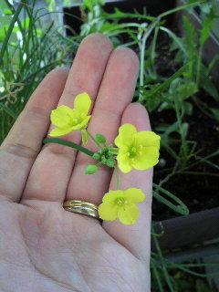 セルバチコ 花
