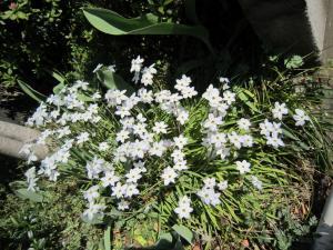 1.ニラの花
