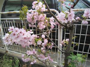 1.八重桜①