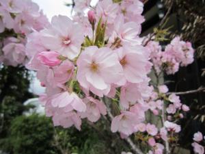 1.八重桜②
