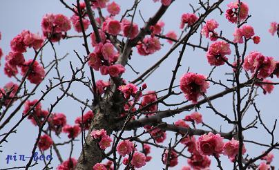 3・2桃の花