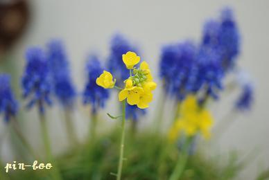 菜の花。ムスカリ