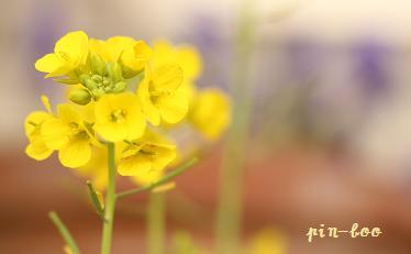 3.19菜の花