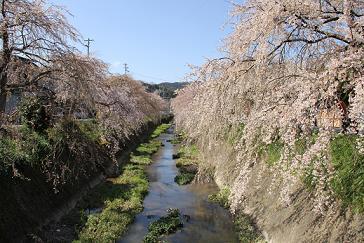 3.21桜