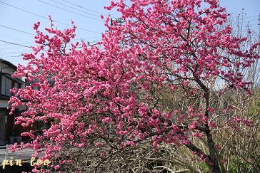 3.21桜2