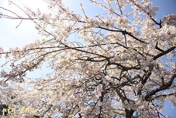 3.21桜3