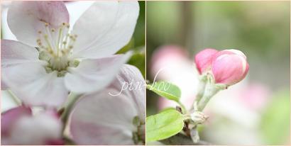 4.26リンゴの花