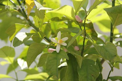5.15檸檬の花
