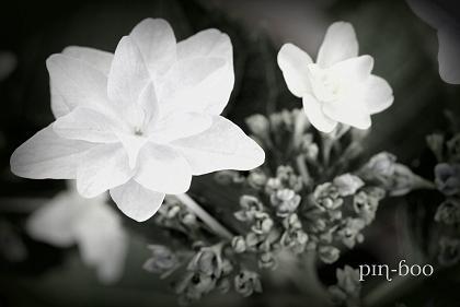 6.10紫陽花