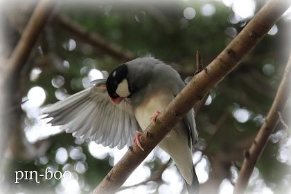 8.15さくら文鳥2