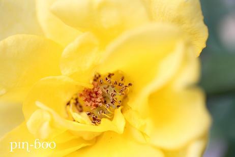 11.4黄バラ