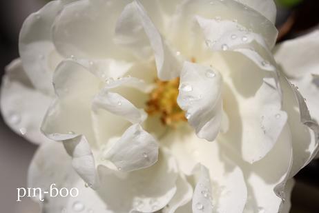 11.4白バラ