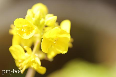 1.20菜の花