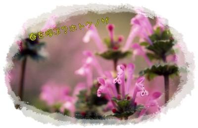 春の花ホトケノザ