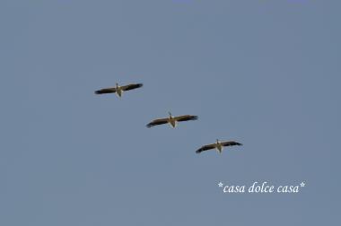 pelican_convert_20100505224036[1] (2)