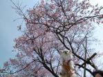桜とマリア