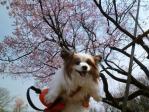 桜とピーその2