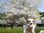 桜とぴーちゃん