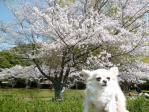 桜とマリアちゃん