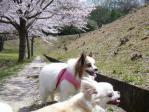 桜並木のお散歩
