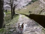 桜並木のお散歩ピー