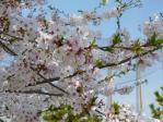 ちょこっと葉桜