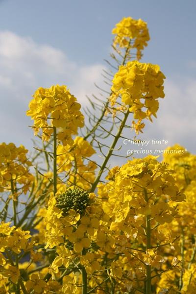 伸びる菜の花