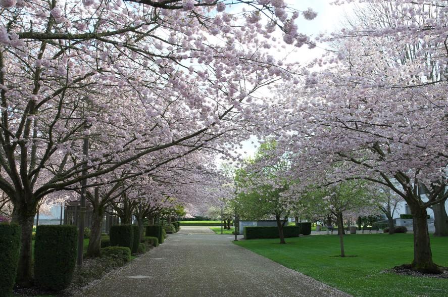 桜@Salem2