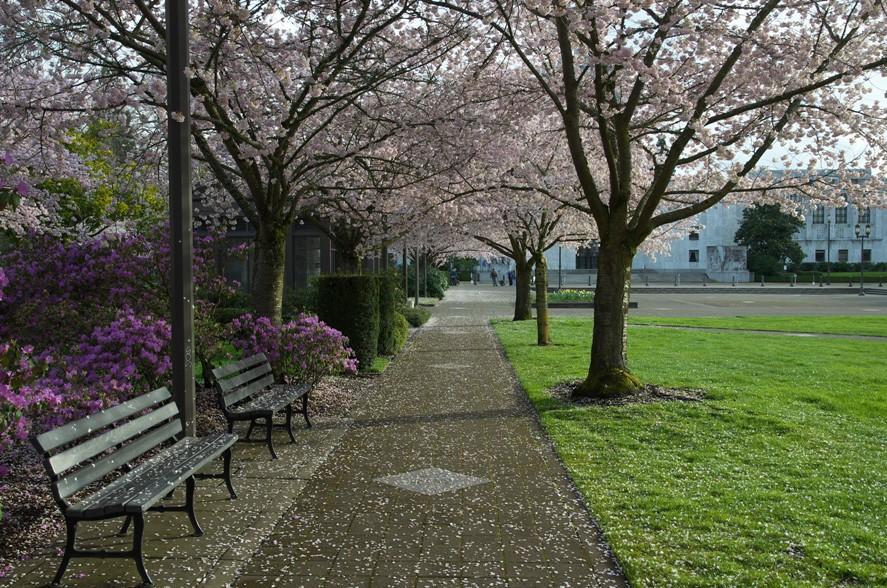 桜@Salem 2-1