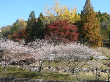 川見四季桜1_1