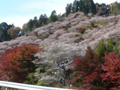 川見四季桜公園5