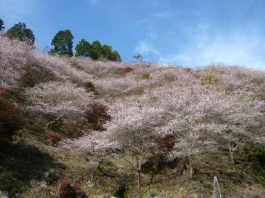 川見四季桜公園3