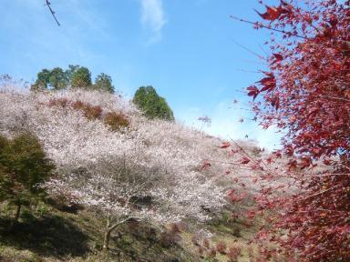 川見四季桜公園2