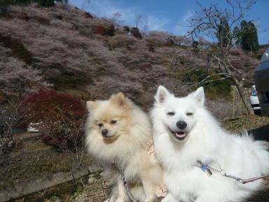 川見四季桜公園4