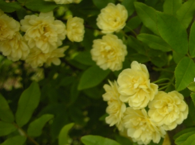 黄モッコウ2