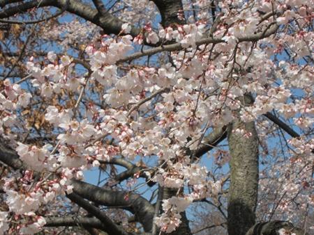 枝垂れ桜8