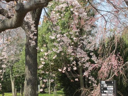 枝垂れ桜9