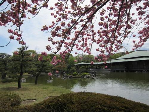 八重桜13