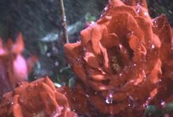 水を浴びている赤い薔薇