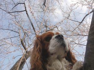 画像 145桜とショコラ