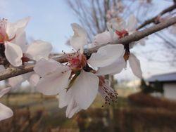 画像 146桜1
