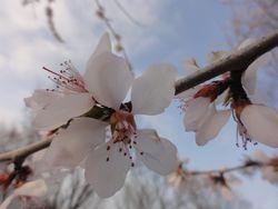 画像 147桜2