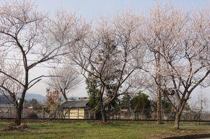 画像 155線路側桜