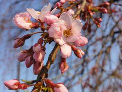画像 144しだれ桜
