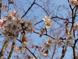 画像 142山桜
